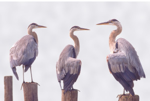 Great Blue Herons on the Corsica